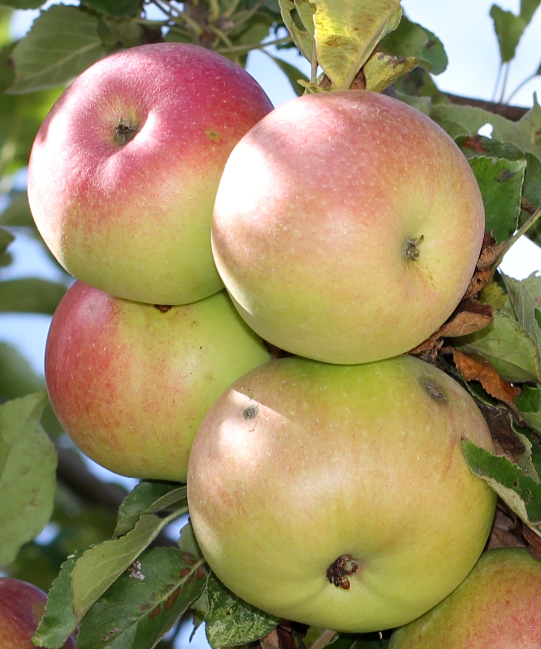 Mcintosh (apple) – Wikipedia Inside Apple Orchard Printed Kitchen Tier Sets (View 14 of 20)